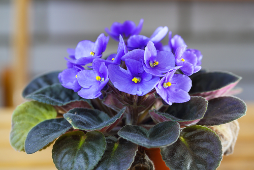 How do you care for African violets