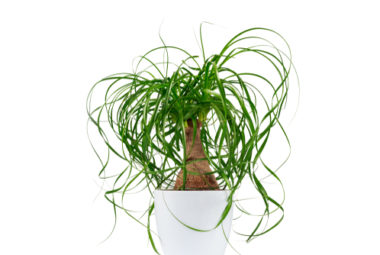 Ponytail Palm Care Indoor