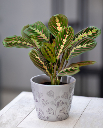 Prayer Plant Care Indoor Guide