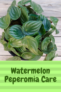 watermelon peperomia houseplants