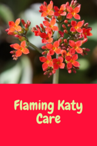 Flaming Katy Care Indoors