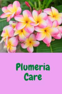 Plumeria Care Indoors