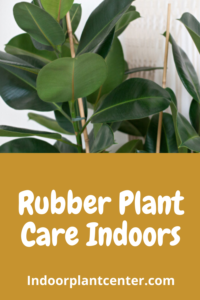 Rubber Plant Care