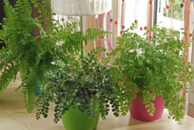 Maidenhair Fern Care Indoors