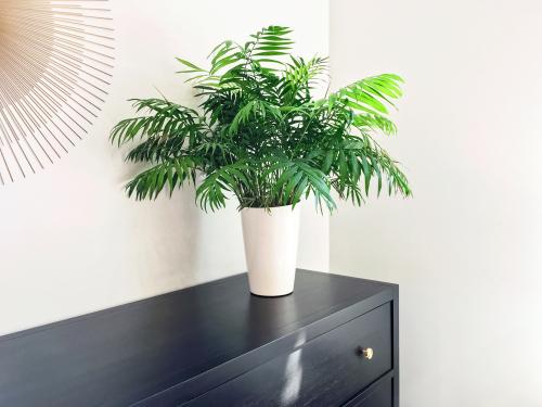 Parlor Palm Care