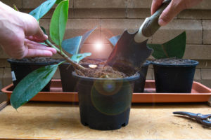 Propagating stem in pot with cutting compost