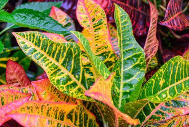 Croton Plant Care