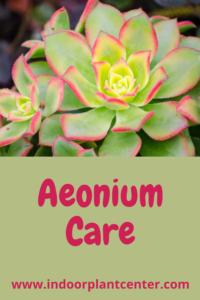 Aeonium Kiwi Care