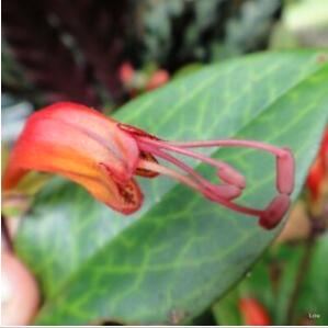 Black Pagoda Lipstick Plant