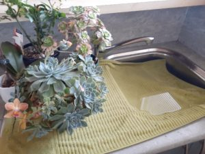 How to water indoor plants using your Kitchen sink