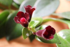 mona lisa lipstick plant
