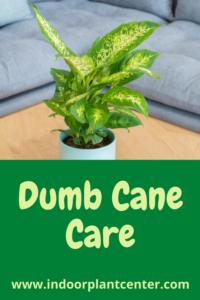 Dumb Cane Care Guide