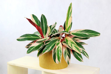 Stromanthe Triostar Care