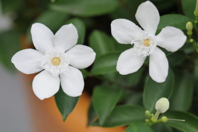 Jasmine Plant Care Indoors