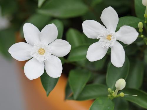 Jasmine Plant Care Indoors