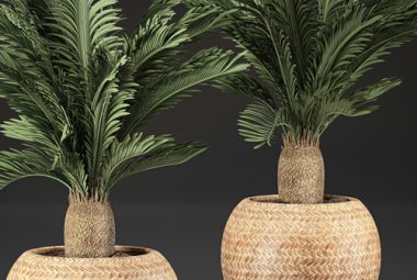 Two Sago Palms In Pots