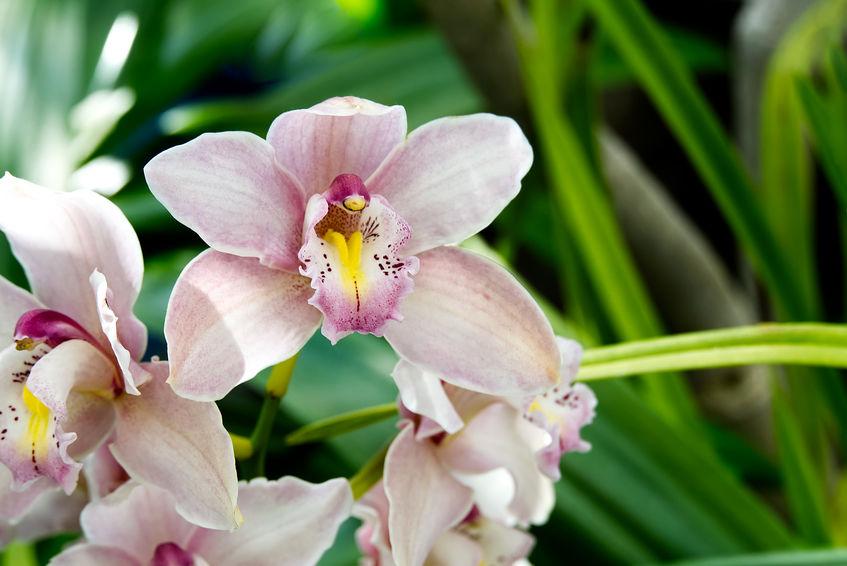 Reflowering Cymbidium Orchid
