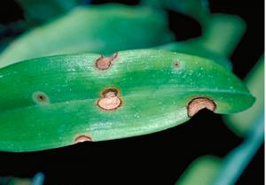 fungal leaf spot