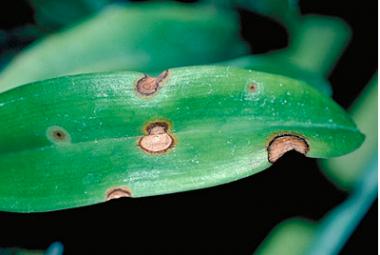 Fungal Leaf Spot Disease