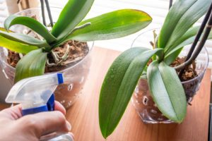 misting an orchid plant