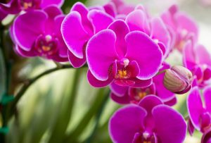 Pink phalaenopsis orchid flower or moth orchid