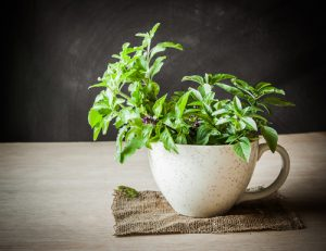 Holy Basil in a Cup