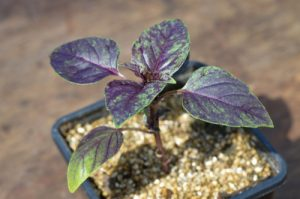 Young Purple Basil in a pot