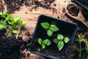Seedlings of Thai basil in a pot,