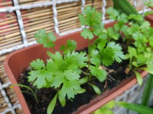 Close up of a young cilantro plant growing indoors