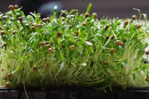 Sprouted,Coriander,Seeds.,Coriander,Microgreens.,Germinate,Cilantro,Seeds