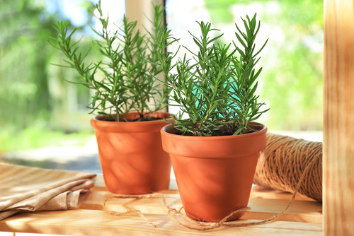 Rosemary Growing Indoors In Pots