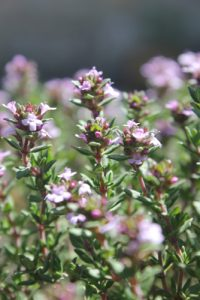 English Thyme or Winter thyme,Herbs, Growing Indoors
