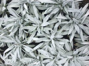 white sage plant up close