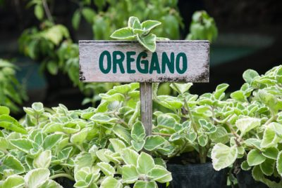Oregano For Growing Indoors With A Sign