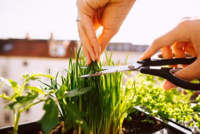 Harveting Chives Indoors With Scissors
