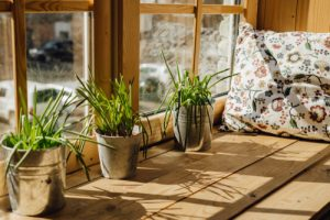 Lemongrass indoors in pots by window sill